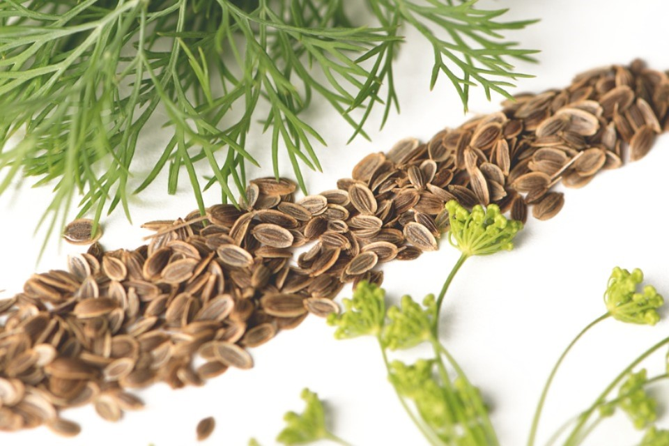 Dill plants and seed
