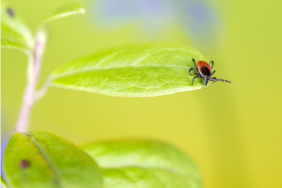Tick on a green plant